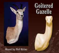 Goitered Gazelle Shoulder Mannikins
