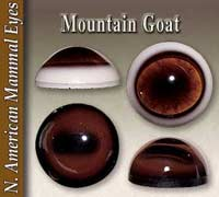 Mountain Goat Eyes