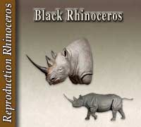 Reproduction Black Rhinoceros