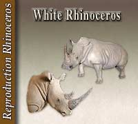 Reproduction White Rhinoceros