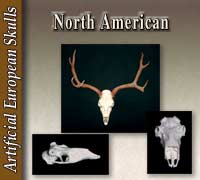 European Skulls - North American