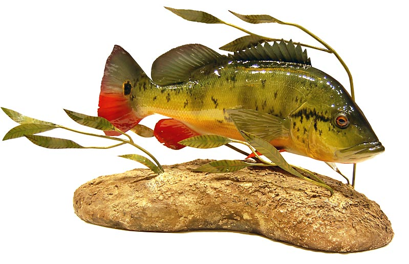 Peacock Bass Reproduction Award Winner 2009