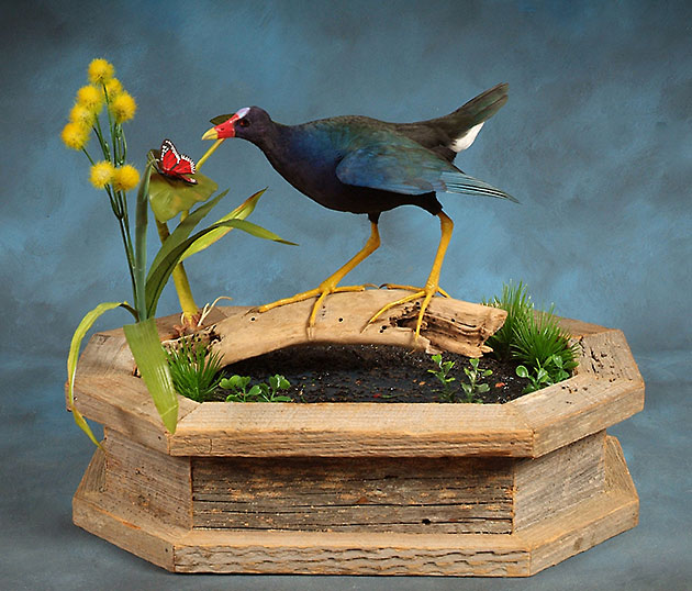 Purple Gallinule Award Winner 2012